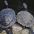 Turtle Love by Tikvah's Hope