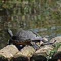 Turtle On A Raft by Linda Kerkau