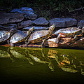 Turtle Parade At Alligator Adventure by Bill Swartwout Photography