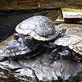 Turtle Rant by Cornelia  DeDona