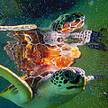 Turtle Reflection by Carey Chen