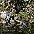 Turtles And Gator by Linda Kerkau