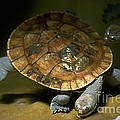 Turtles Float by Gary Gingrich Galleries