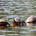 Turtles by Richard Griffis