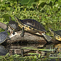 Turtles Sunning by Deborah Benoit
