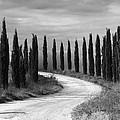 Tuscan Cedars by Hugh Smith