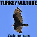 Turkey Vulture Educational by David Lee Thompson