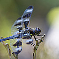 Twelve Spot Hanging Out by Shelly Gunderson