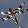 Twelve-spotted Skimmer by Stephanie Salter