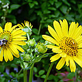 Twin Daisies  by Aimee L Maher ALM GALLERY