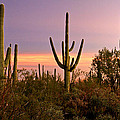 Twilight After Sunset In The Cactus Forests Of Saguaro National Park by Ed  Riche