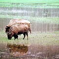 Twin Bison by Todd Roach