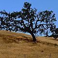 Twin California Oaks by Jeff Lowe