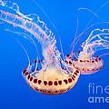 Twin Dancers - Large Colorful Jellyfish Atlantic Sea Nettle Chrysaora Quinquecirrha  by Jamie Pham