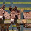 Twin Donkeys by Mary Almond