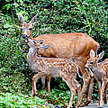Twin Fawns And Mother Deer by Peggy Collins