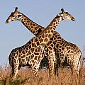 Twin Giraffes by Wendy White