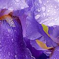 Twin Iris by Sabine Edrissi
