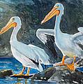 Da208 Twin Pelicans By Daniel Adams by Daniel Adams