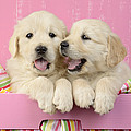 Twin White Labs In Pink Basket by Greg Cuddiford