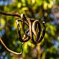 Twirling Vine Tendril by Douglas Barnett