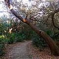 Twisted Oaks 2 by Joe Wyman