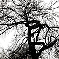 Twisted Tree In Black And White by Ann Powell