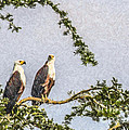 Two African Fish Eagles Haliaeetus Vocifer  by Liz Leyden