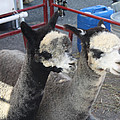 Two Alpacas by John Telfer