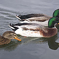 Two-and-a-half Ducks by Mike and Sharon Mathews