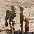 Two Aoudad Babies Playing by Gary Langley