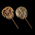 Two Atlantic Horseshoe Crabs by Science Photo Library