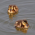 Two Baby Ducklings by Gill Billington