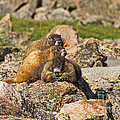 Two Baby Marmots Resting On Mother At Rock Cut by Fred Stearns