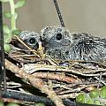 Two Baby Mourning Doves by Jussta Jussta