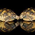 Two Baby Tortoises by Pete Hemington