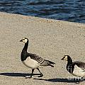 Two Barnacle Geese by Kerstin Ivarsson