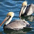 Two Beautiful Pelicans by Cynthia Guinn