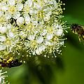 Two Bees On A Rowan Truss - Featured 3 by Alexander Senin