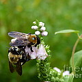 Two Bees On Flower by Jane Ford