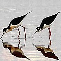 Two Black Neck Stilts Eating by Tom Janca