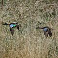Two Blue Winged Teal by M Dale