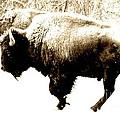 Two Buffalo by Barbara Henry