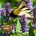 Two Butterflies In The Afternoon Sun by Kristin Hatt
