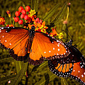 Two Butterflies by Zina Stromberg