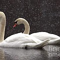 Two Christmas Swans A Swimming by Kenny Glotfelty