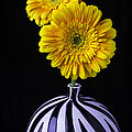 Two Daises In Striped Vase by Garry Gay