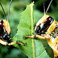 Two Desert Locusts Eating by Perennou Nuridsany