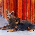 Two Dogs by John  Kolenberg