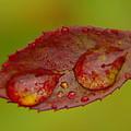 Two Droplets On A Leaf  by Jeff Swan
